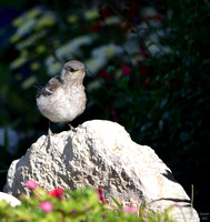 Mockingbird baby on Mothers Day 003